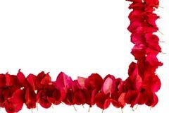 在白色背景隔绝的桃红色九重葛瓣 免版税库存图片