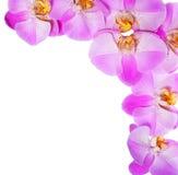 在白色背景隔绝的桃红色兰花花。美丽 库存照片