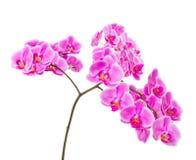 在白色背景隔绝的桃红色兰花花 免版税库存照片