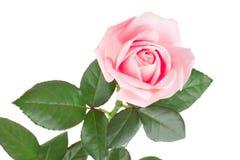 在白色背景隔绝的桃红色玫瑰 免版税库存图片