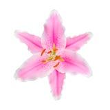 在白色背景隔绝的桃红色百合花 库存图片