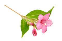 在白色背景隔绝的桃红色锦带花花 库存图片