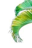 在白色背景隔绝的棕榈树分支 免版税图库摄影