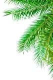 在白色背景隔绝的棕榈树叶子 免版税库存照片
