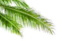 在白色背景隔绝的棕榈树叶子 库存图片