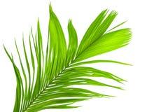 在白色背景隔绝的棕榈树叶子 库存照片