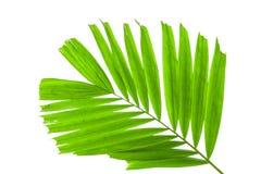 在白色背景隔绝的棕榈树叶子 库存照片图片