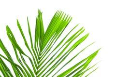 在白色背景隔绝的棕榈树叶子 免版税图库摄影