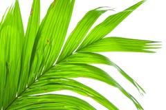 在白色背景隔绝的棕榈树叶子 图库摄影