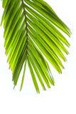 在白色背景隔绝的棕榈树叶子 免版税库存图片