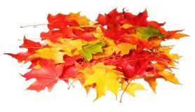 在白色背景隔绝的槭树叶子。色的秋天叶子 图库摄影