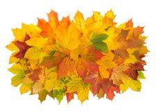 在白色背景隔绝的槭树叶子 秋天红色黄色 免版税图库摄影