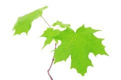在白色背景隔绝的槭树叶子 库存图片