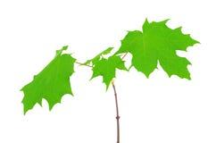 在白色背景隔绝的槭树叶子 图库摄影