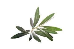 在白色背景隔绝的橄榄树枝 免版税库存照片