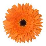 在白色背景隔绝的橙色大丁草花 库存照片