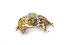 在白色背景隔绝的池蛙 免版税库存图片