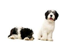 在白色背景隔绝的波兰低地护羊狗 免版税库存照片