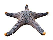 在白色背景隔绝的海星/Seastar 库存图片