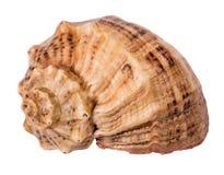 在白色背景隔绝的海洋贝壳 图库摄影