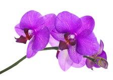 在白色背景隔绝的淡紫色兰花的开花的枝杈 免版税库存图片