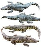 在白色背景隔绝的淡水鳄鱼的收藏 免版税库存图片