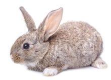 在白色背景隔绝的灰色兔宝宝开会 图库摄影