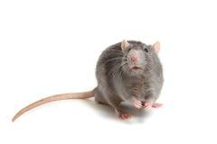 在白色背景隔绝的灰色鼠 免版税库存照片