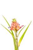在白色背景隔绝的特写镜头微型Bromeliad花 免版税库存照片