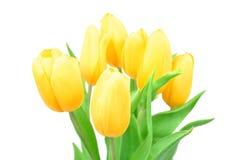 在白色背景隔绝的特写镜头黄色郁金香春天花,春天开花 免版税库存照片