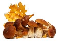 在白色背景隔绝的狂放的被搜寻的蘑菇选择,与阴影 牛肝菌蕈类可食蘑菇 库存照片