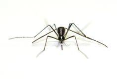 在白色背景隔绝的病毒运载的蚊子 免版税库存图片
