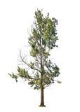 在白色背景隔绝的白杨树 免版税库存照片