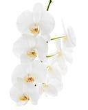 在白色背景隔绝的白色兰花。 免版税库存图片