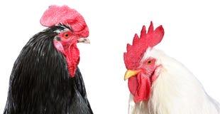 在白色背景隔绝的白色和黑色的雄松鸡 免版税库存照片