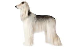 在白色背景隔绝的白色阿富汗猎犬 库存图片