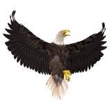 在白色背景隔绝的白头鹰 向量例证