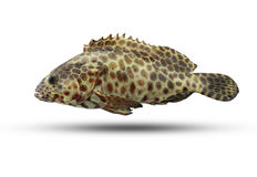 在白色背景隔绝的石斑鱼鱼 图库摄影