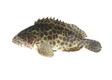 在白色背景隔绝的石斑鱼鱼 免版税库存图片