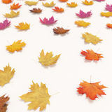 在白色背景隔绝的秋天落的叶子 库存照片