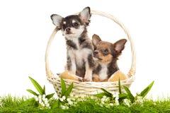 在白色背景隔绝的篮子的狗 免版税图库摄影