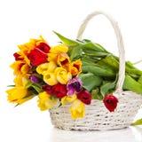在白色背景隔绝的篮子的郁金香 五颜六色的花春天 免版税图库摄影