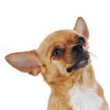 在白色背景隔绝的红色奇瓦瓦狗狗。 免版税库存照片
