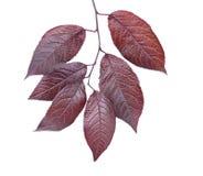 在白色背景隔绝的红色李子叶子 紫色叶子 在分支的美丽和五颜六色的叶子 挽救环境 免版税库存图片