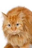 在白色背景隔绝的红色猫。 免版税库存图片