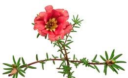 在白色背景隔绝的红色花portulaca 库存照片