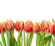 在白色背景隔绝的红色郁金香花束/行  免版税图库摄影