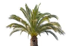 在白色背景隔绝的美丽的棕榈树 免版税图库摄影