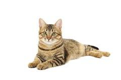 在白色背景隔绝的美丽的猫 免版税图库摄影