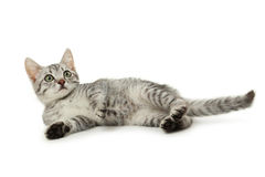 在白色背景隔绝的美丽的猫 图库摄影